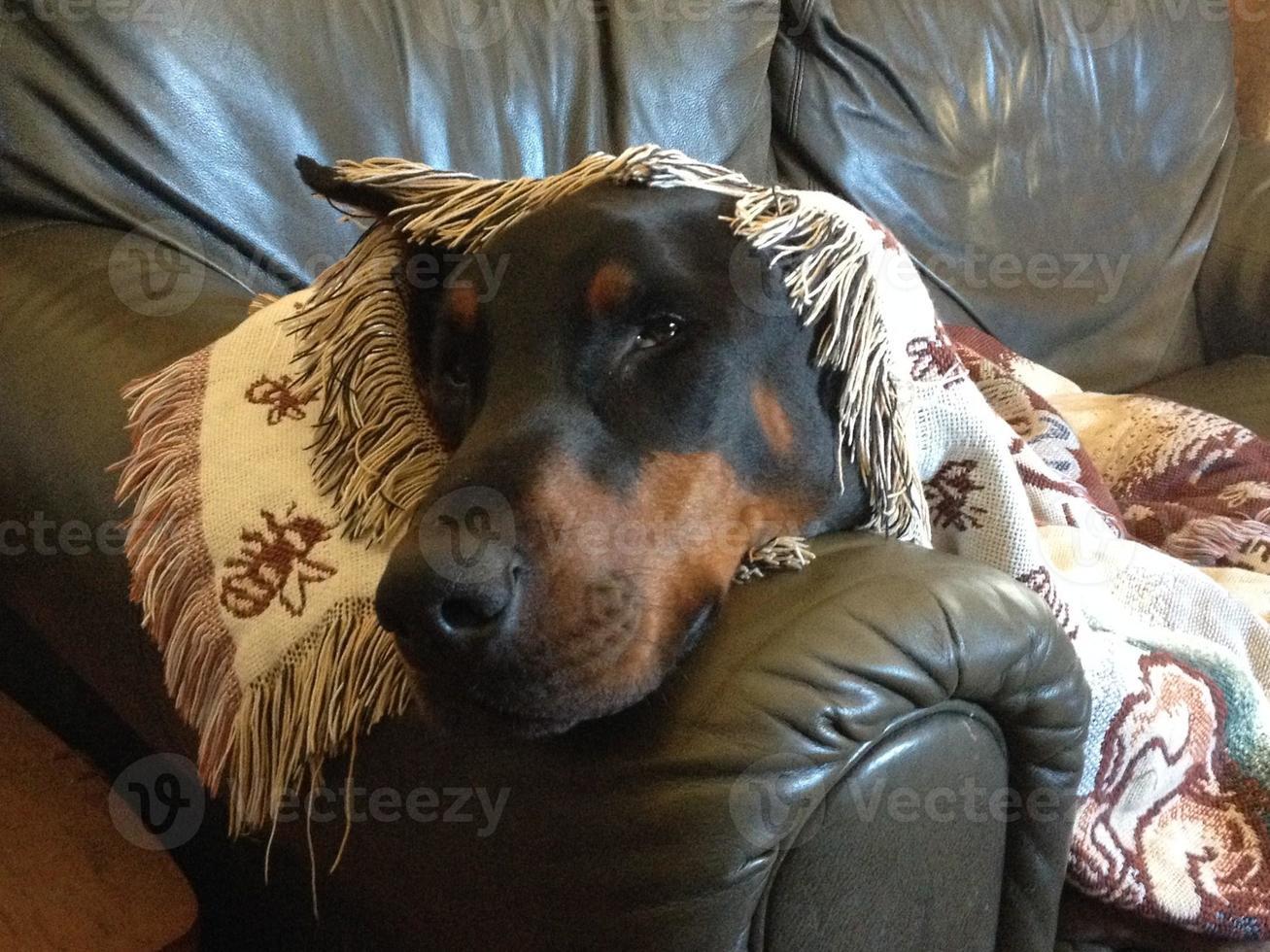 Sleepy Doberman photo
