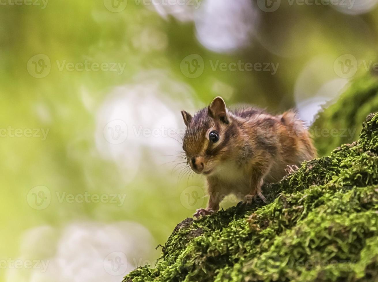 Siberian or common chipmunk squirrel, eutamias sibiricus photo