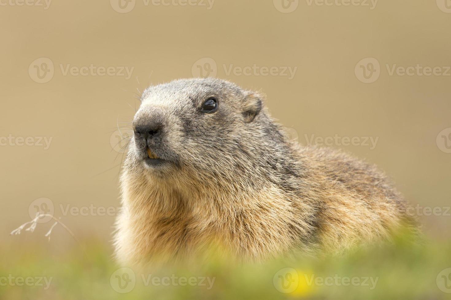 retrato de marmota mientras te mira foto