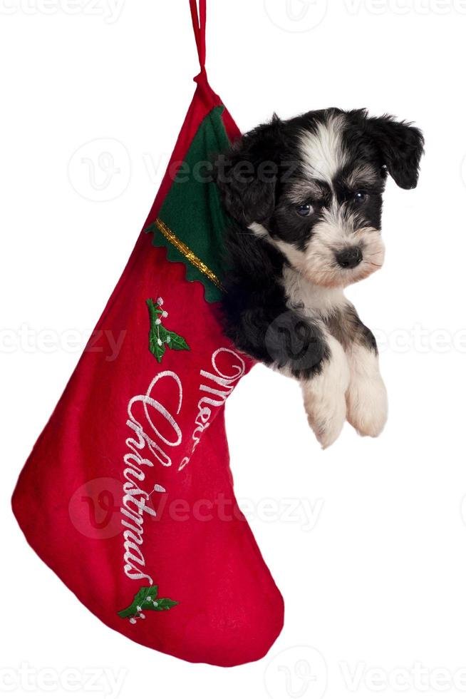 cachorro para regalo. foto