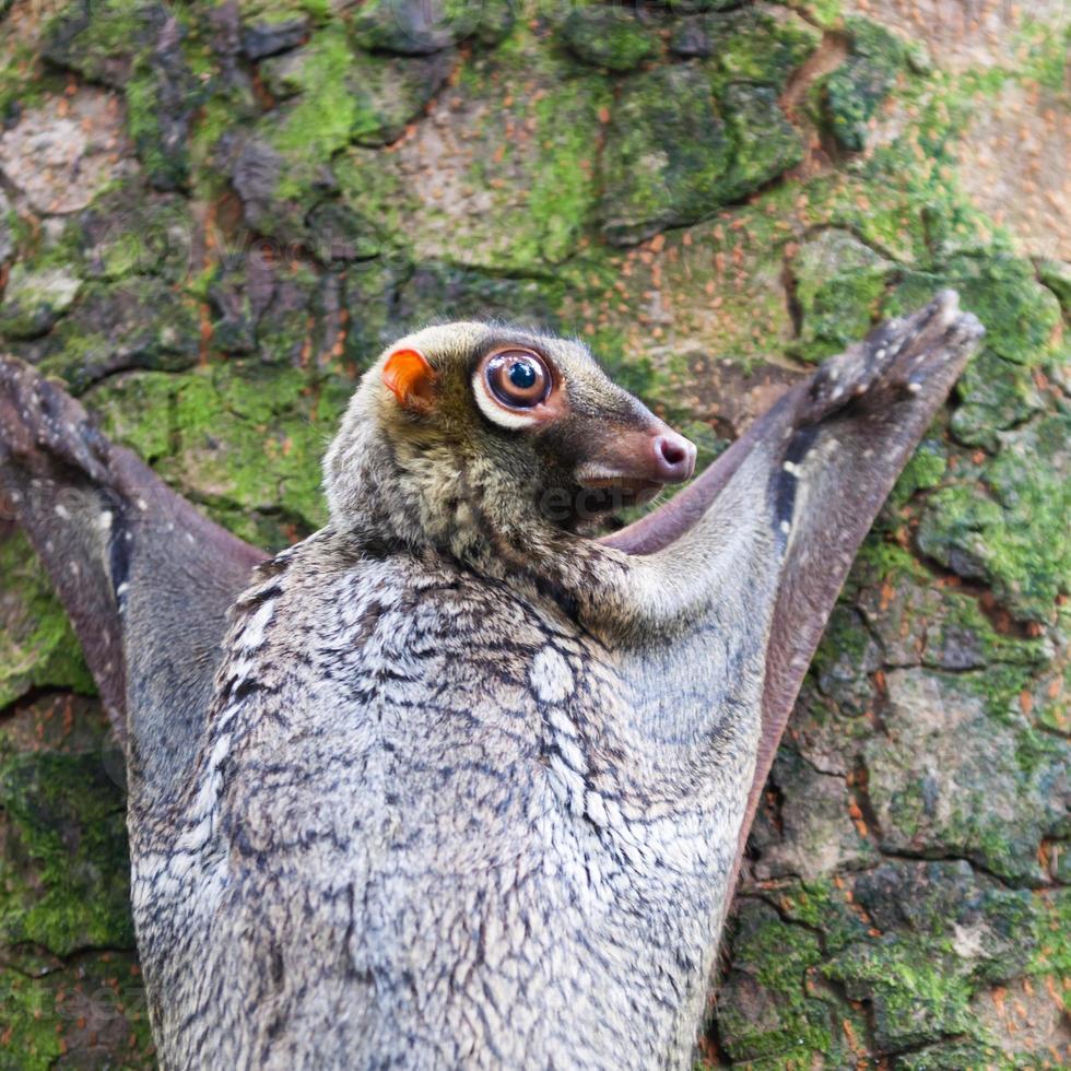 lémur volador de sunda foto