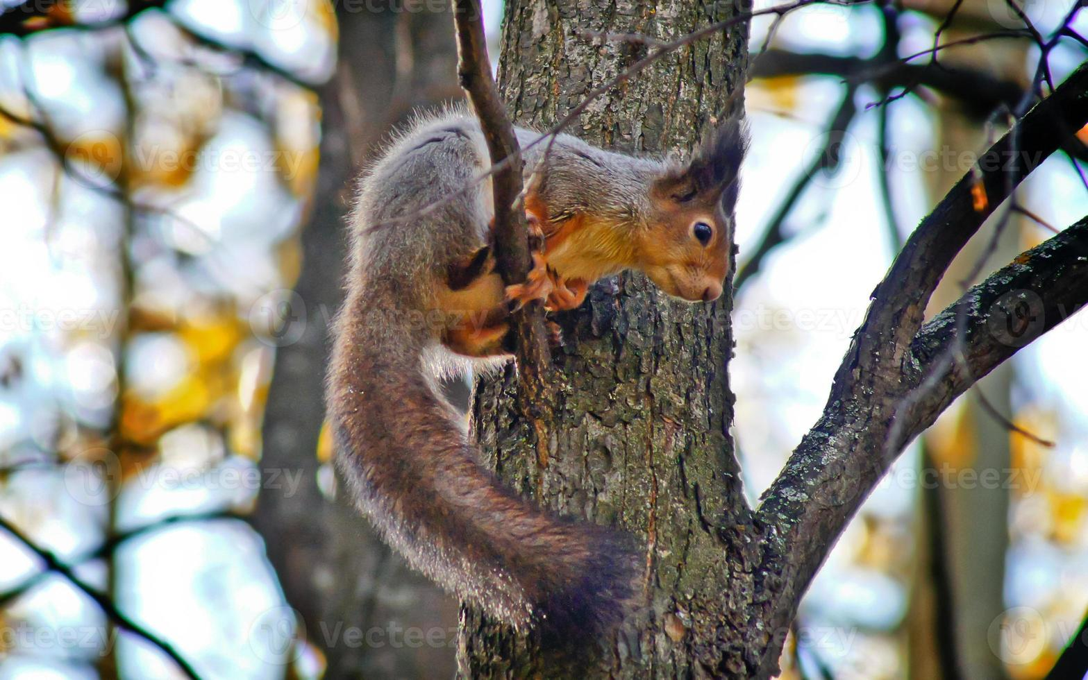 Ardilla en la rama de un árbol. foto