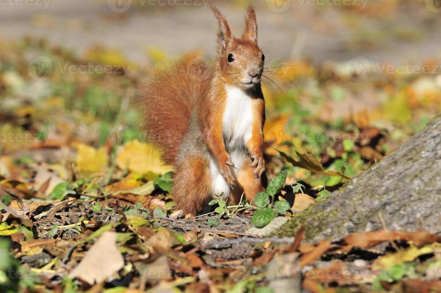 ardilla - un roedor de la familia de las ardillas. foto