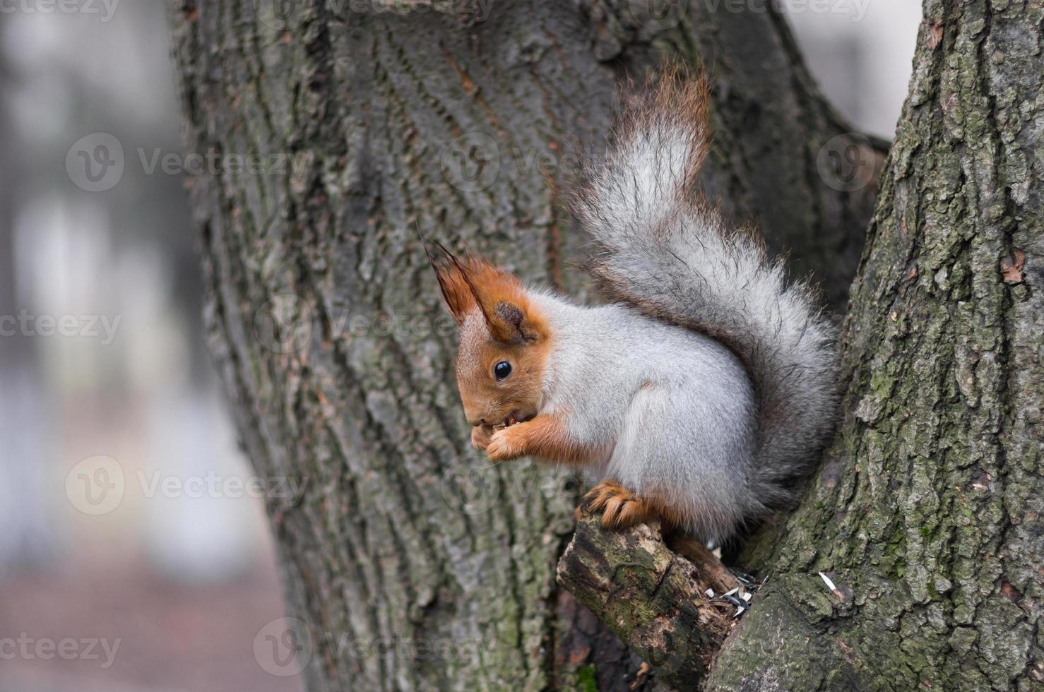 Eurasian red squirrel sitting on a tree branch photo