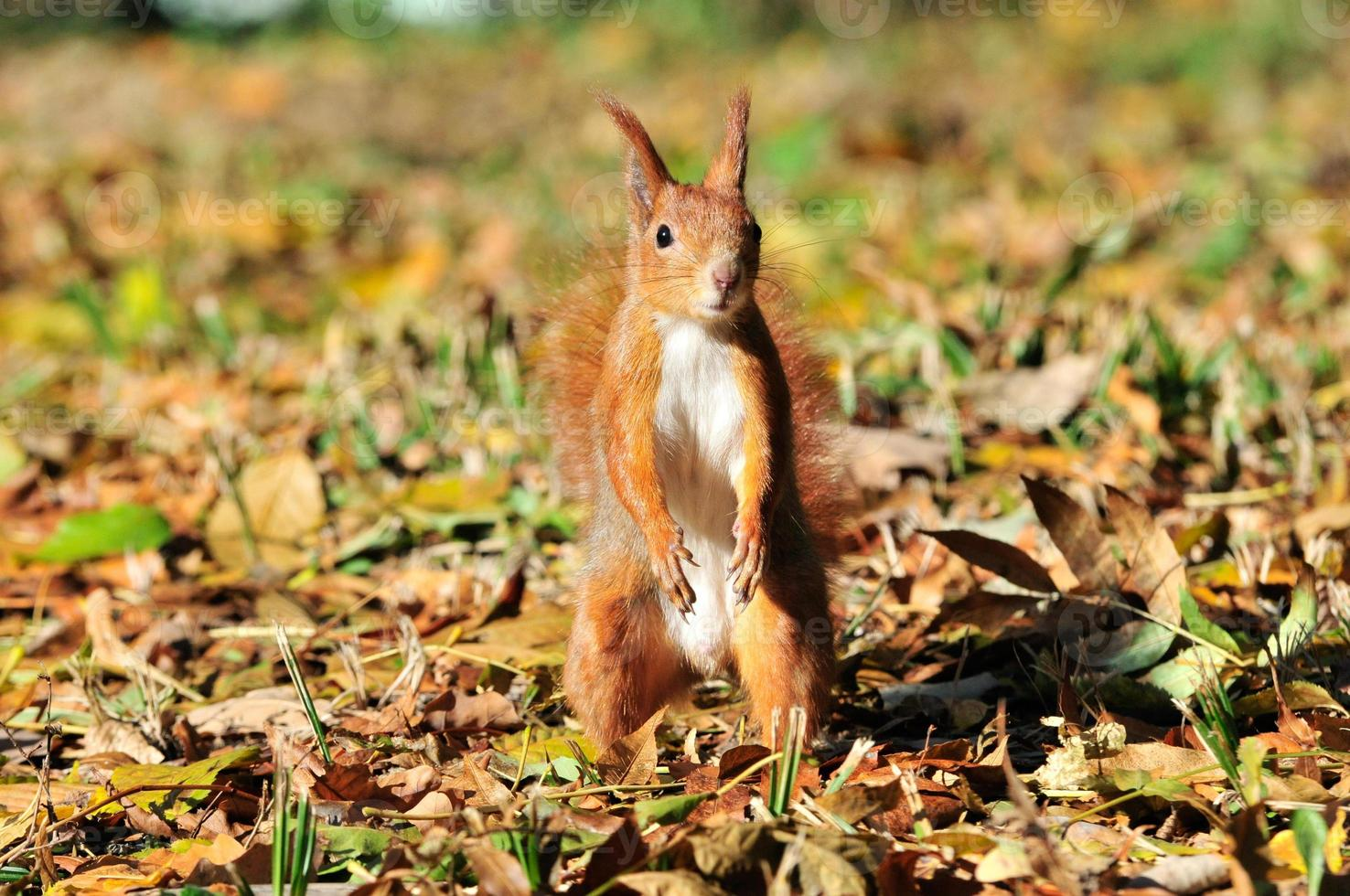 Squirrel - a rodent of the squirrel family. photo