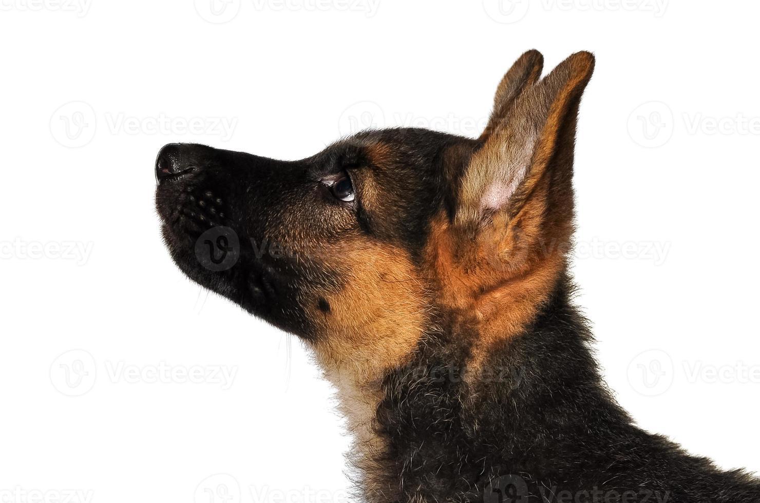 Retrato de cachorro de pastor alemán, портрет щенка немецкой овчарки foto