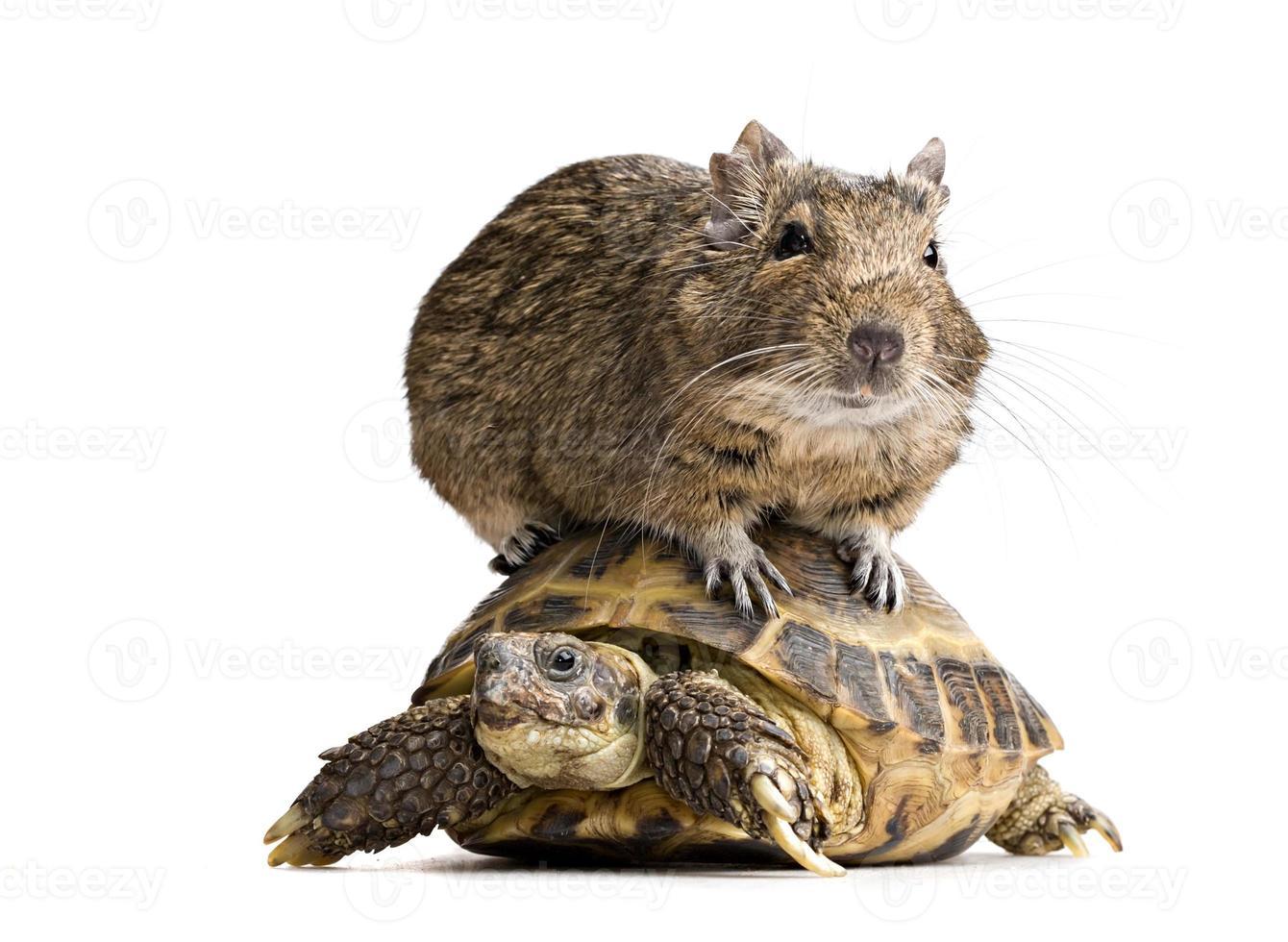 degu hamster riding turtle photo