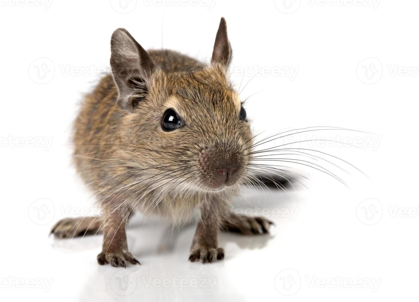 cute small baby rodent degu pet closeup photo