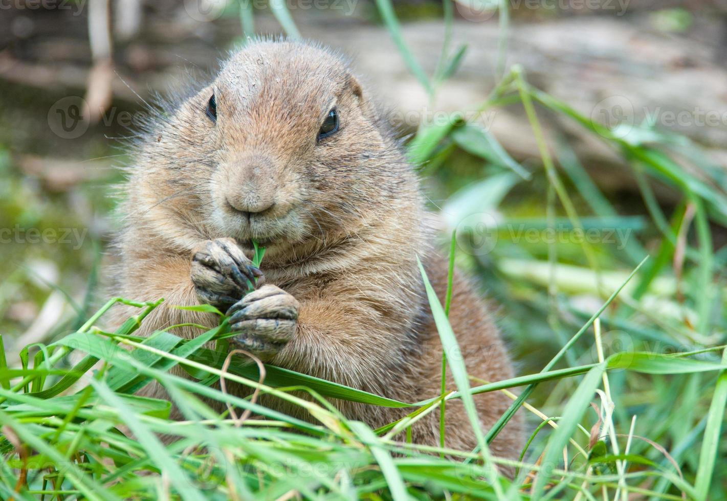 black tailed prairie dog eating a blade of grass photo