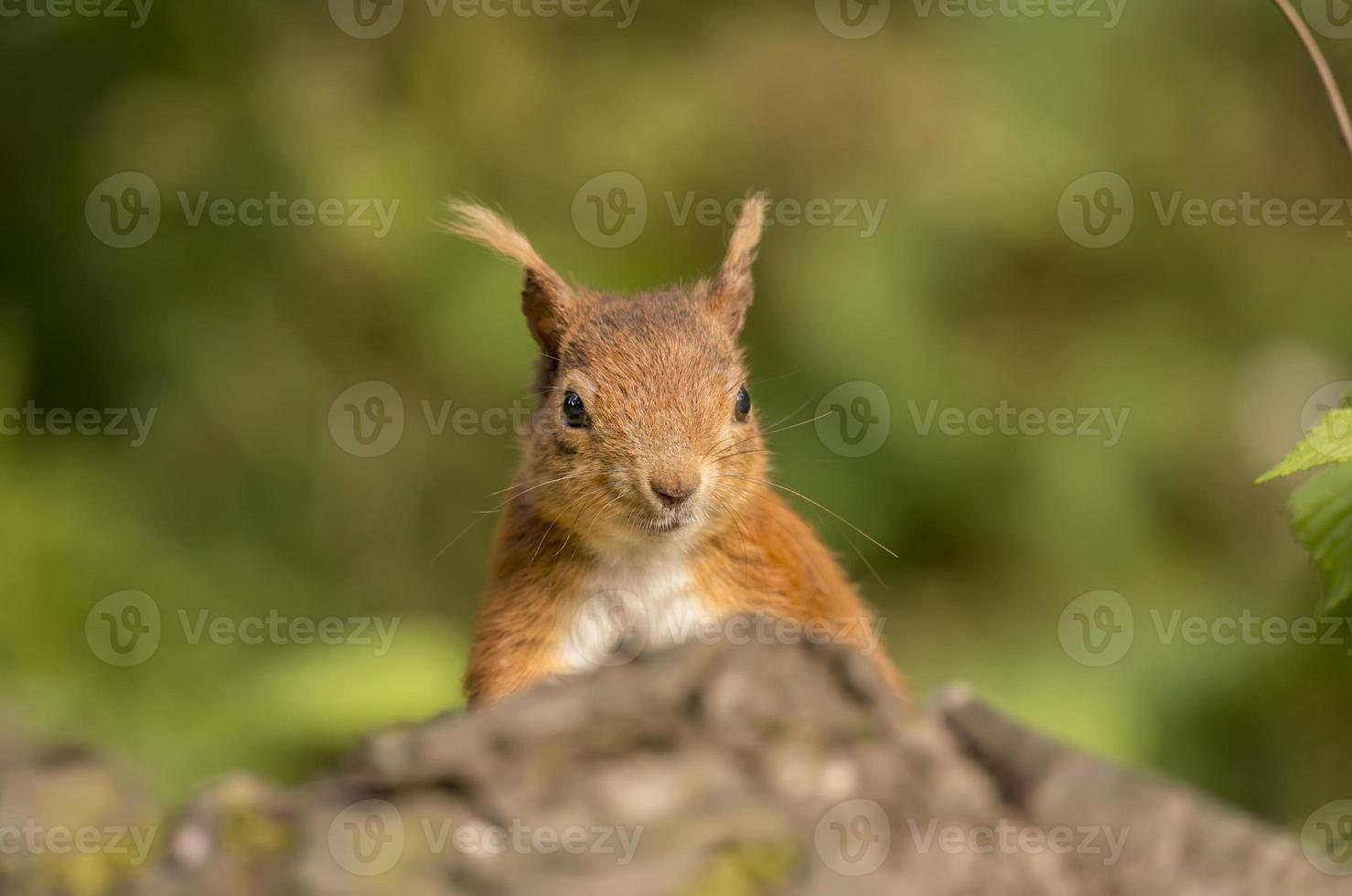 Red squirrel, Sciurus vulgaris, on a tree trunk, head shot photo