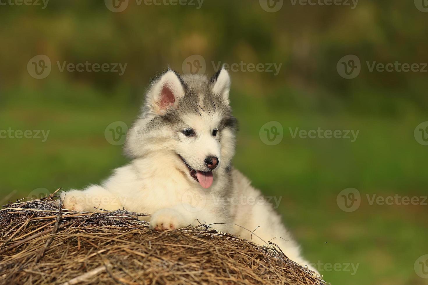 Husky blanco perrito. 1 mes foto