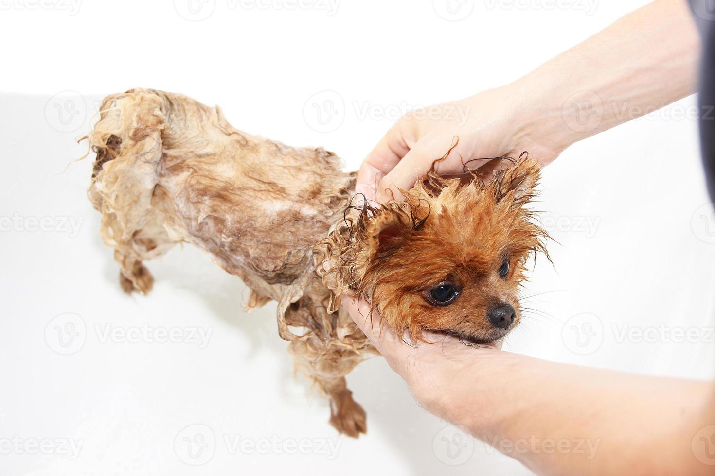 Perro Pomerania tomando una ducha con agua y jabón foto