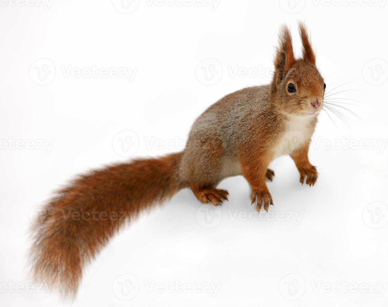 Eurasian red squirrel in front of a white background photo