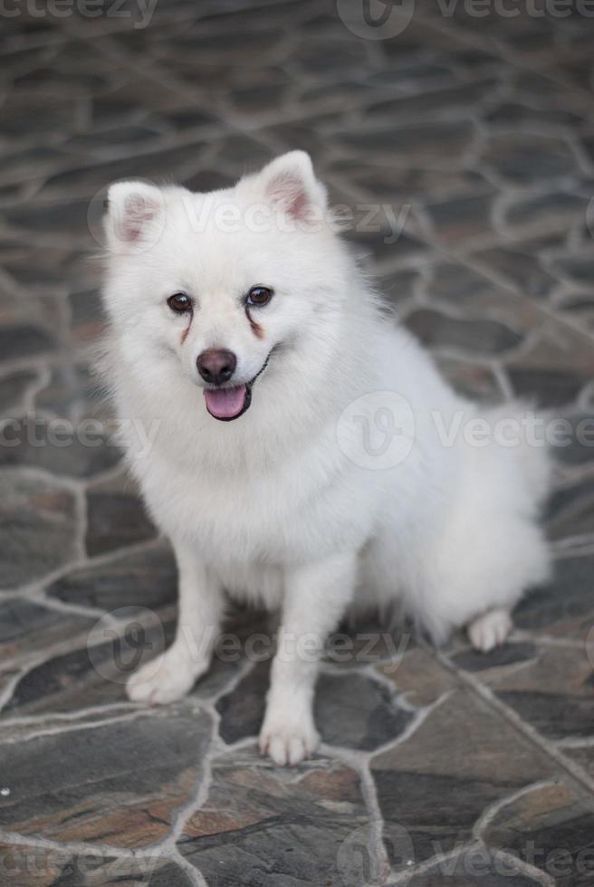 cachorro de spitz blanco foto