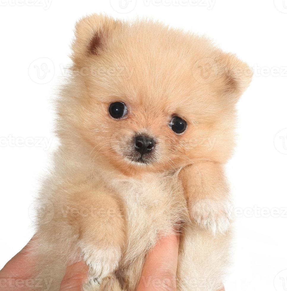 Pomerania cachorro pequeño perro en mano foto