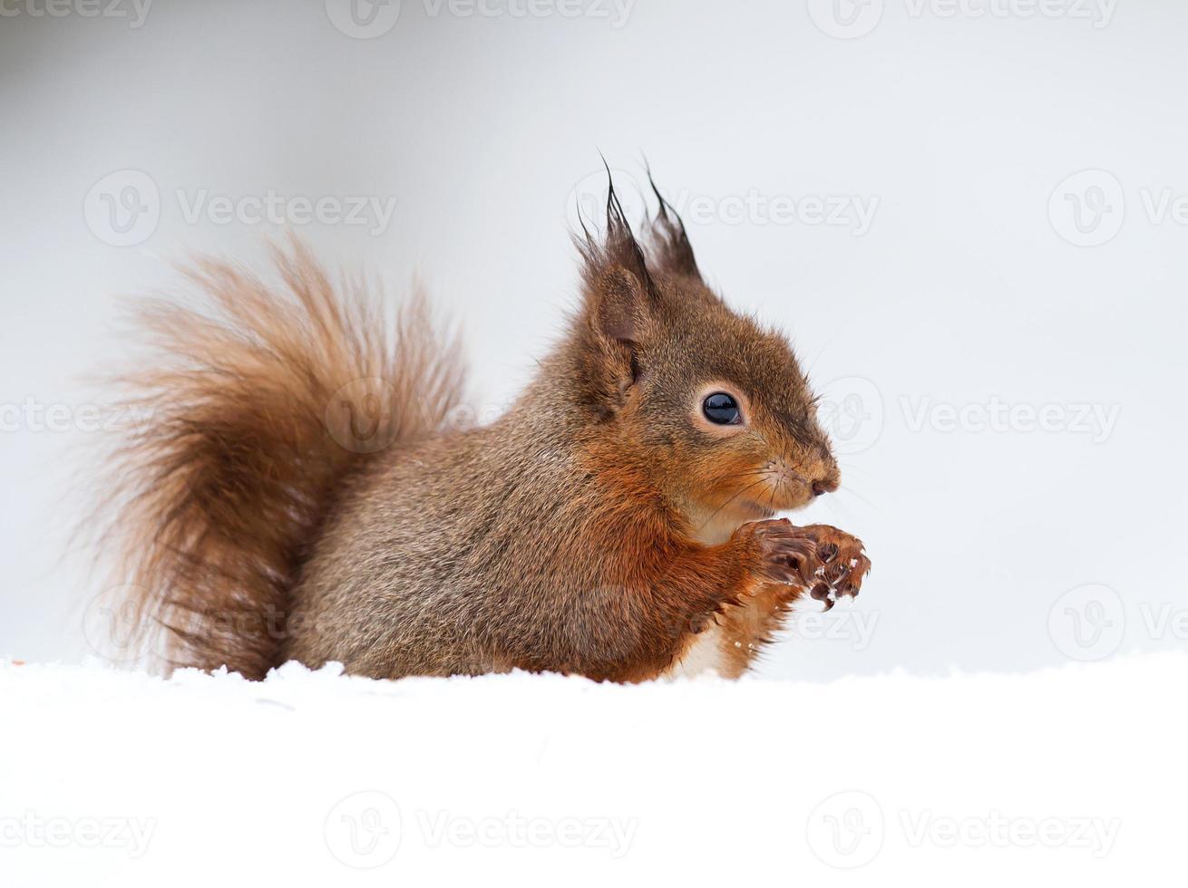 ardilla roja (sciurus vulgaris) foto