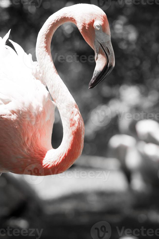 Pink flamingos against blurred background photo