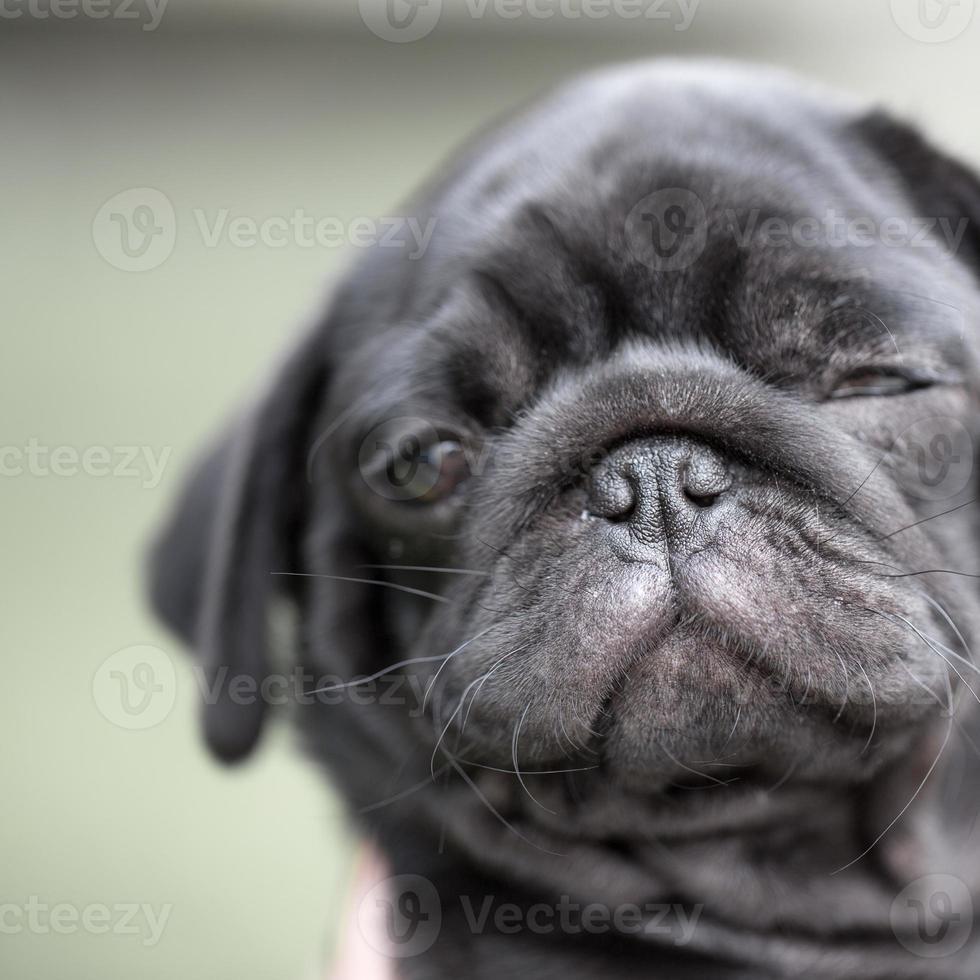 perrito negro pug foto