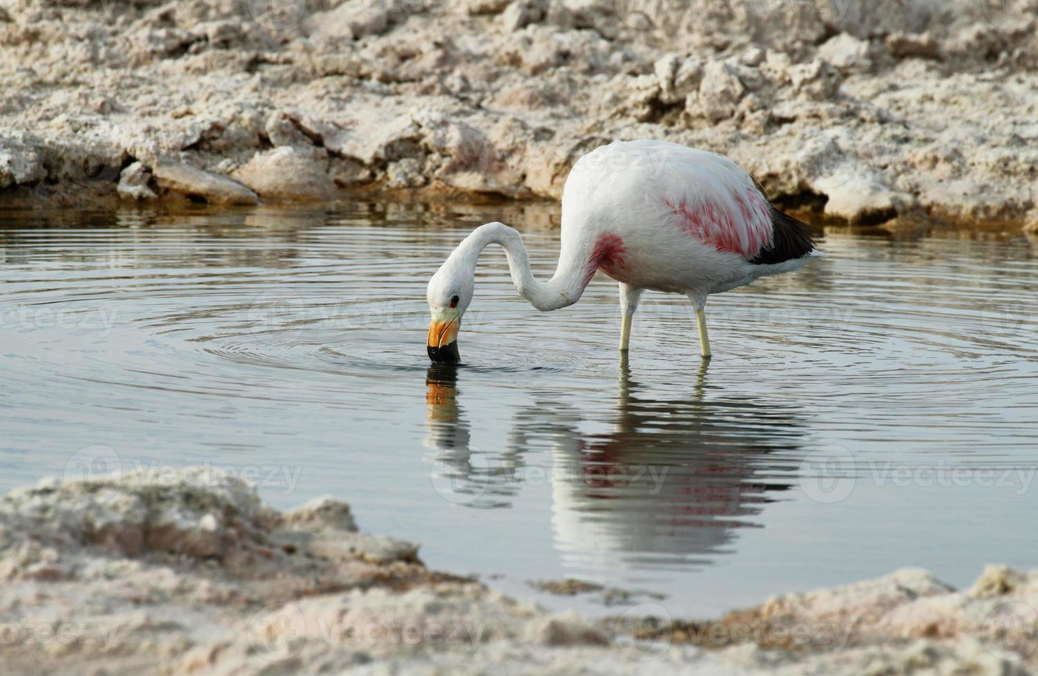 flamenco comiendo en lago salado laguna chaxa foto