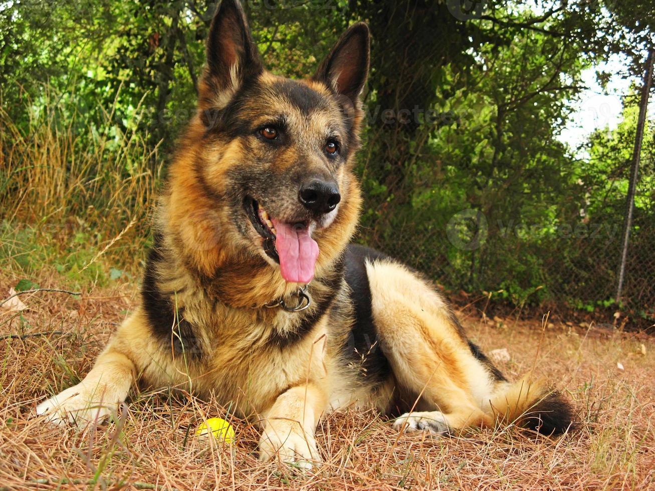 perro pastor alemán foto