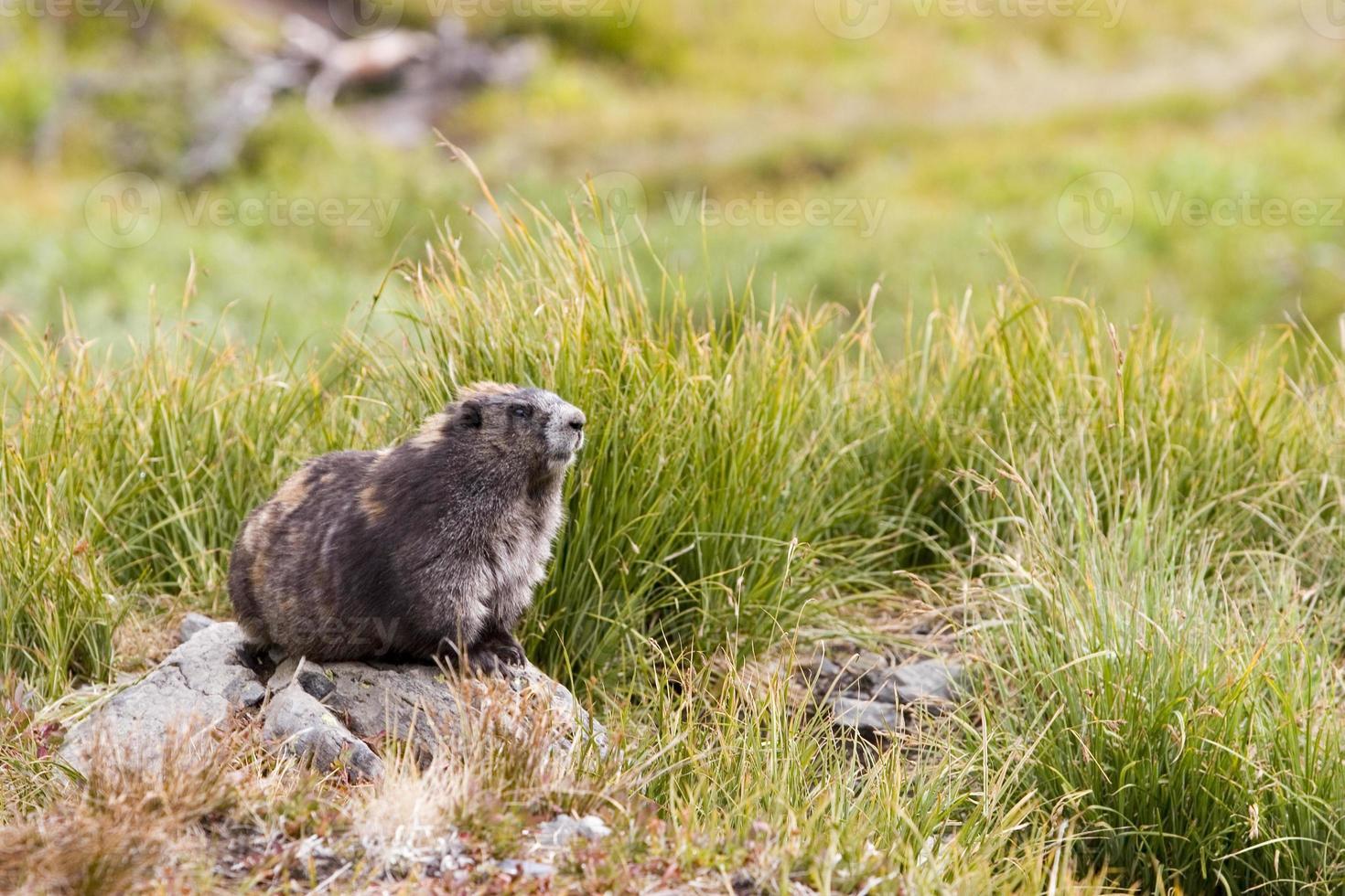 Marmota olímpica (marmota olympus) sentado en una roca en pastizales foto