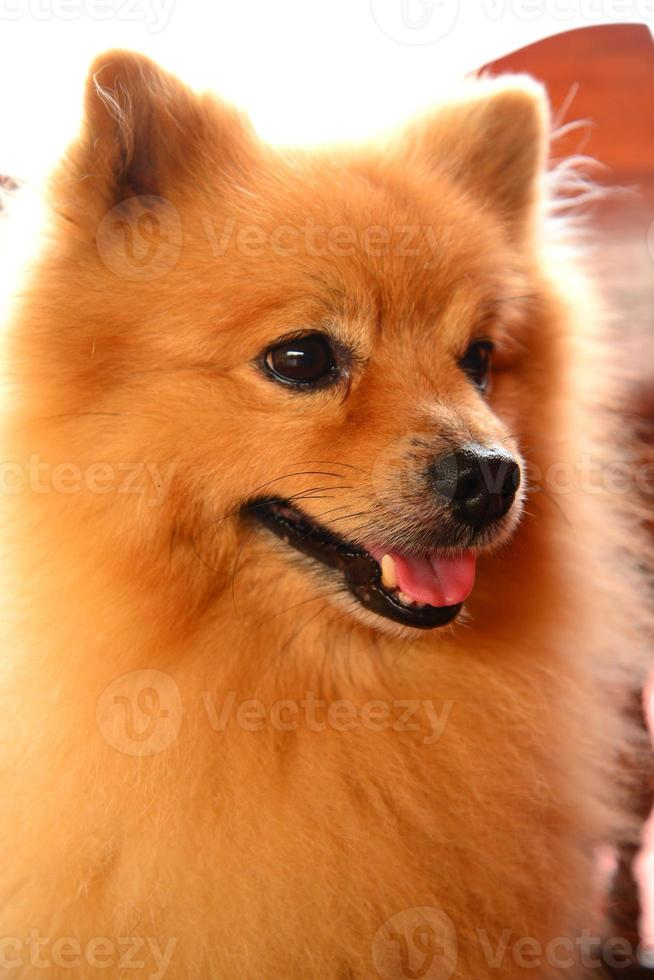 cara sonriente perro pomerania foto