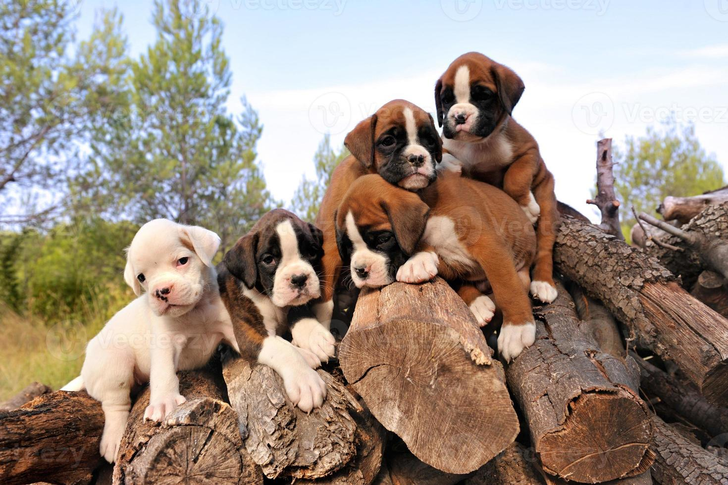 puppies boxer photo