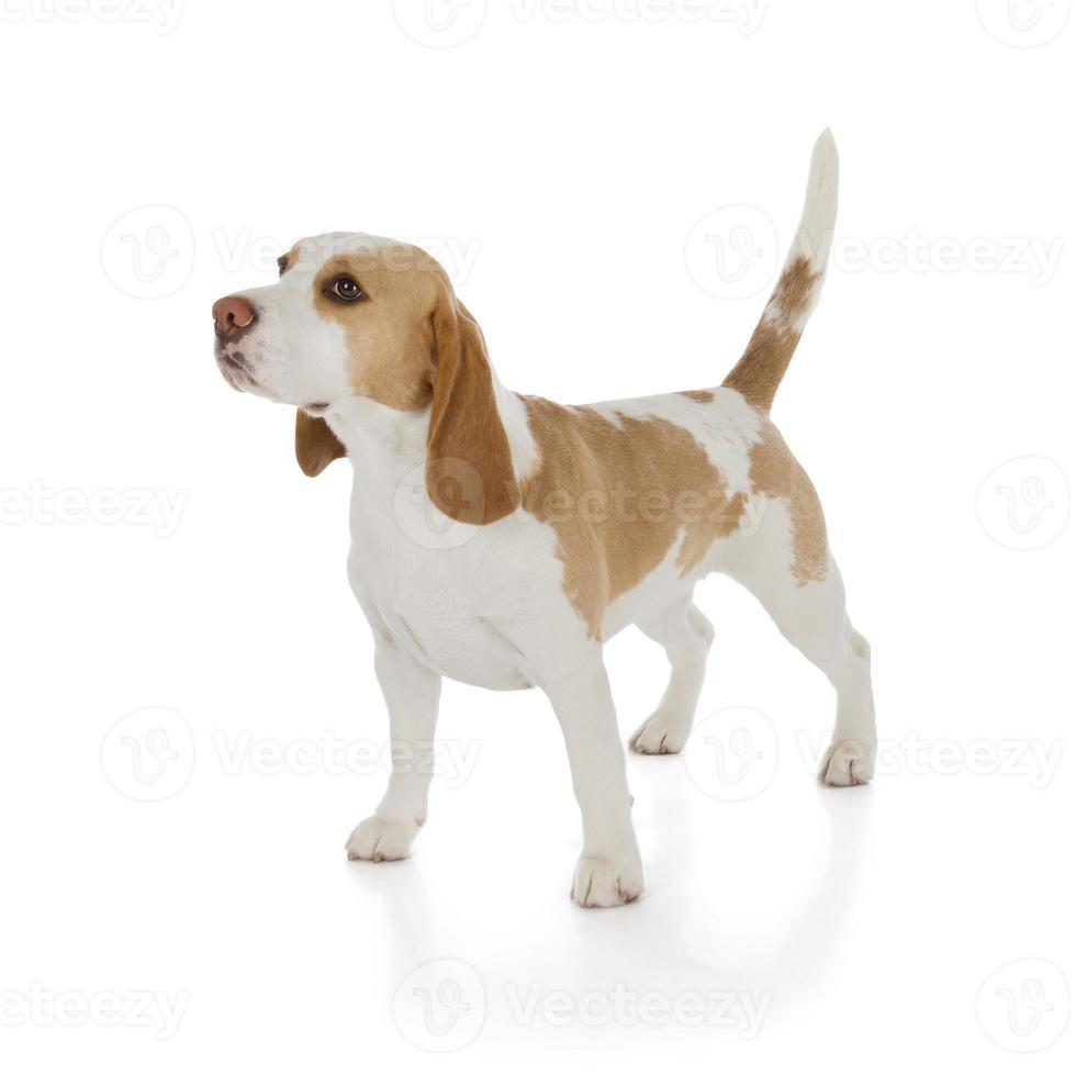 lindo perro beagle foto