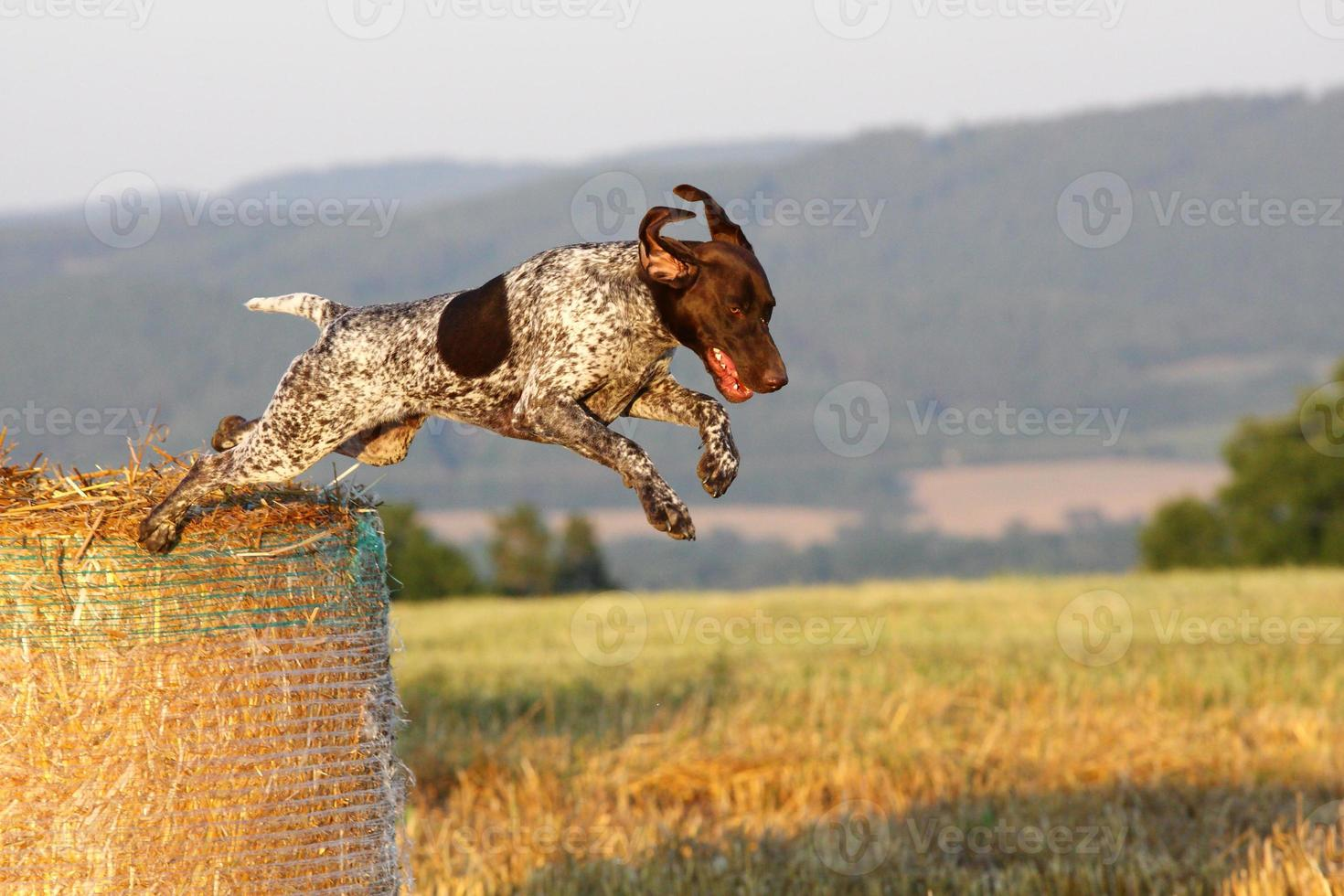 Jumping German shorthaired pointer photo