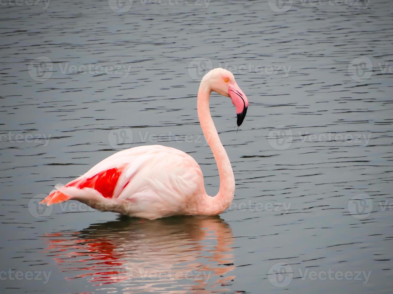 rosa flamante foto