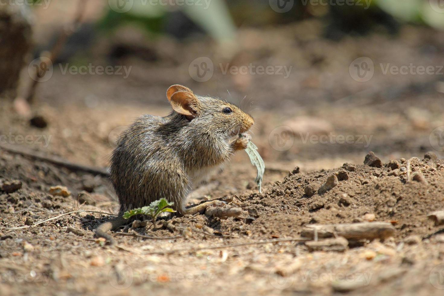 Field mouse eating a leaf photo
