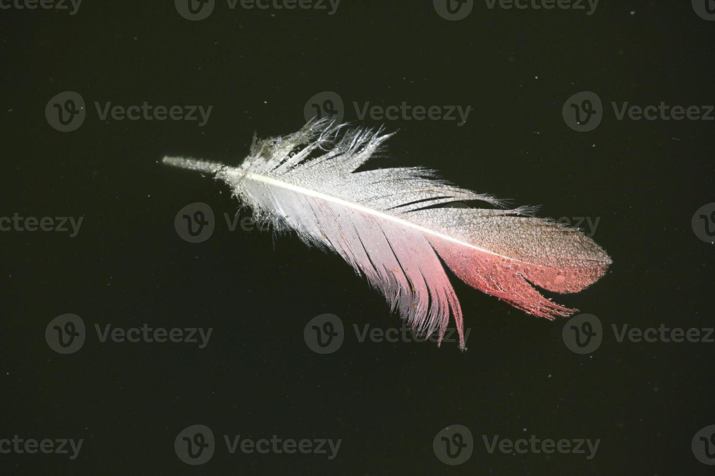 Greater flamingo (Phoenicopterus roseus) feather. photo