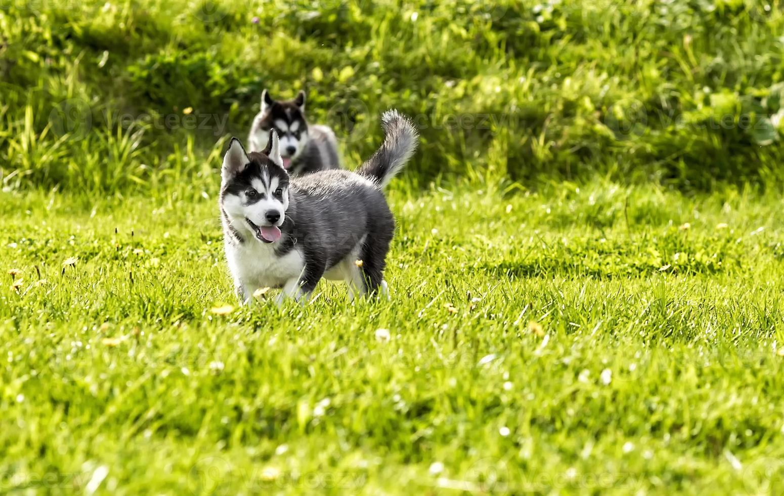 Dos cachorros husky jugando en el prado foto