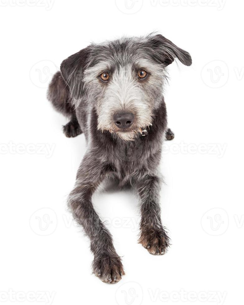 Mixed Terrier Breed Dog Laying Looking Forward photo