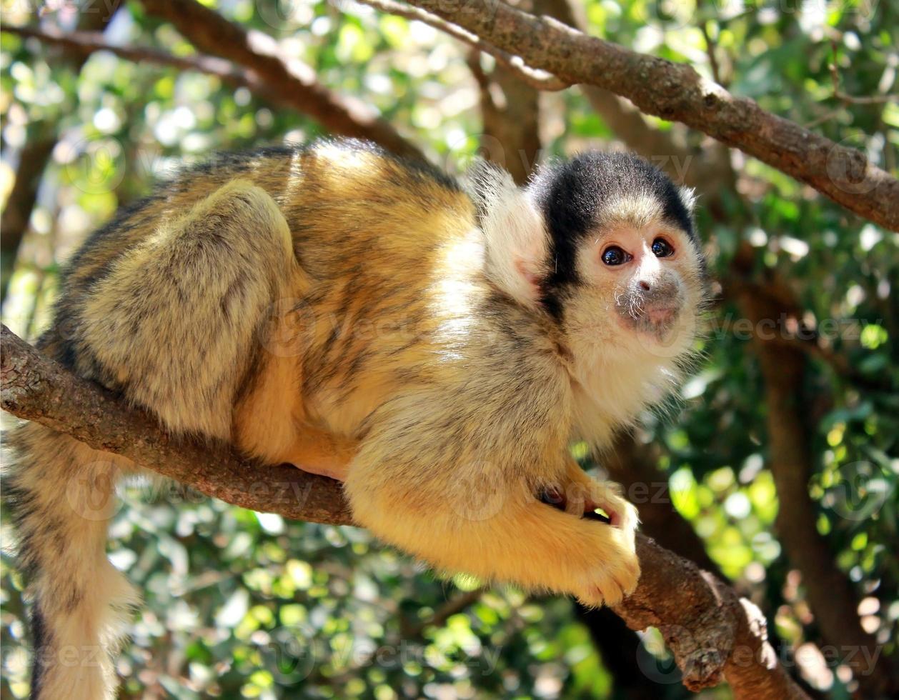 cute squirrel monkey photo