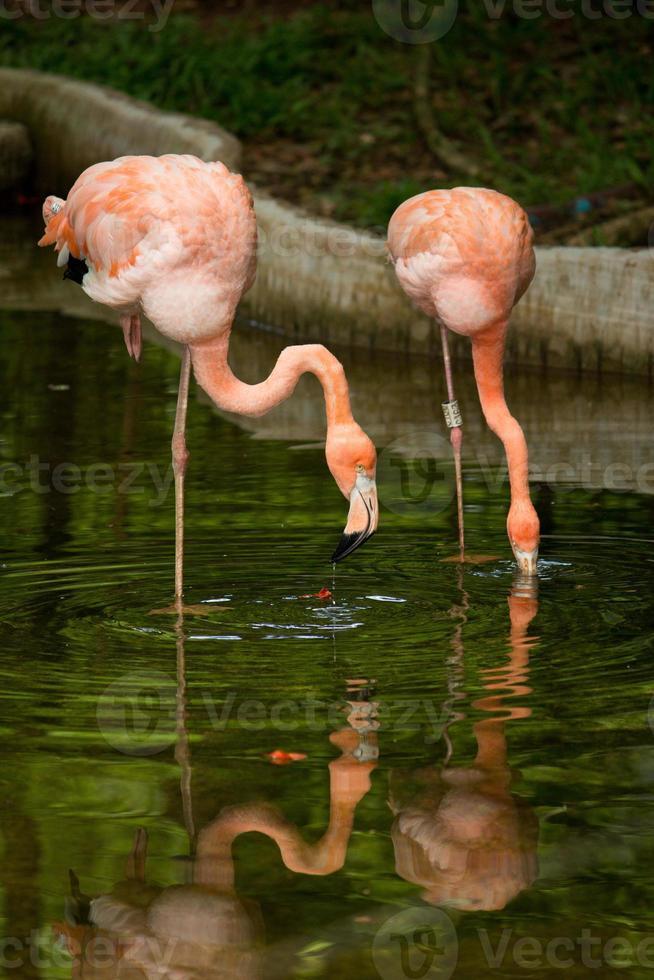 flamenco de aves foto