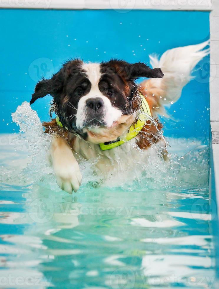 St Bernard dog taking a swim photo