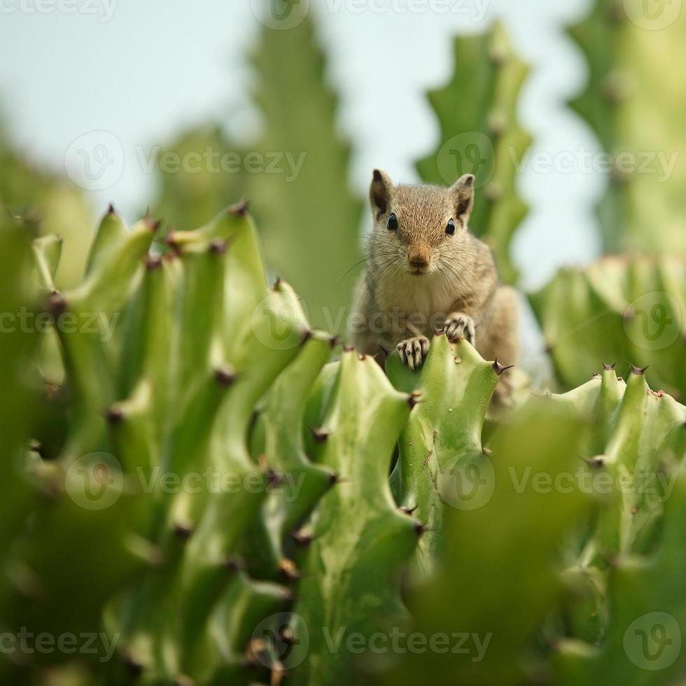 ardilla listada en cactus foto