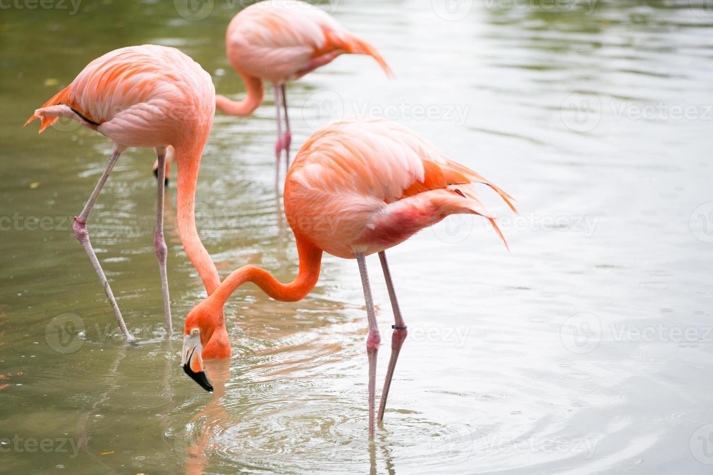 flamencos rosados foto