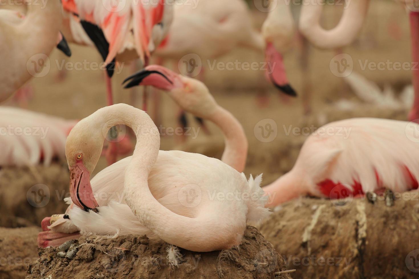 flamenco sentado en el nido foto