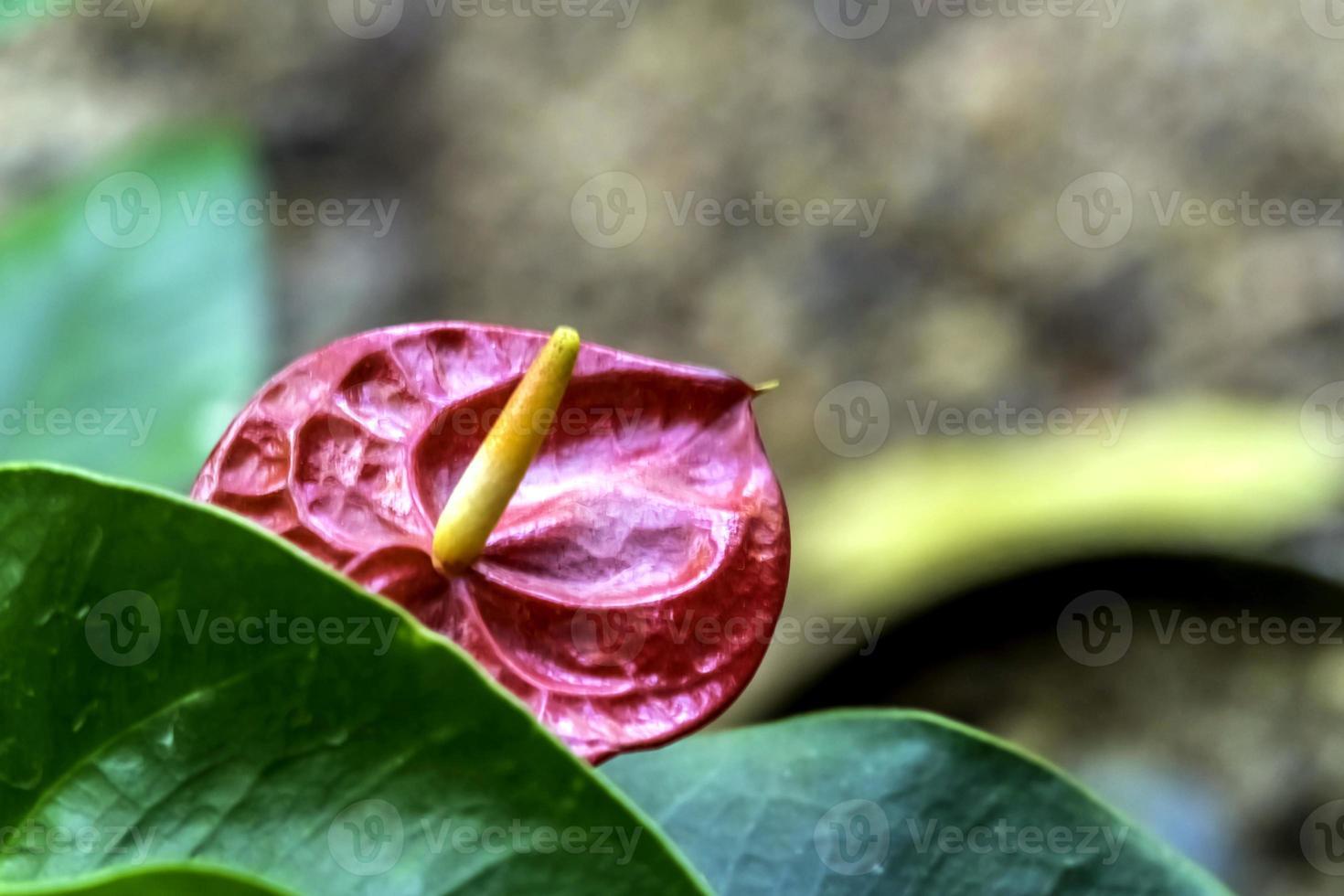 flor de flamenco foto