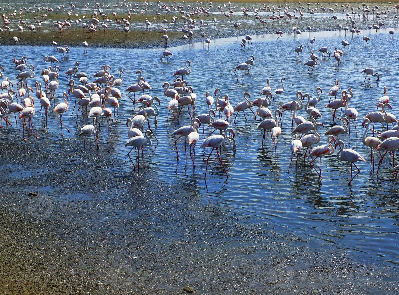 flamingos em walvis bay foto