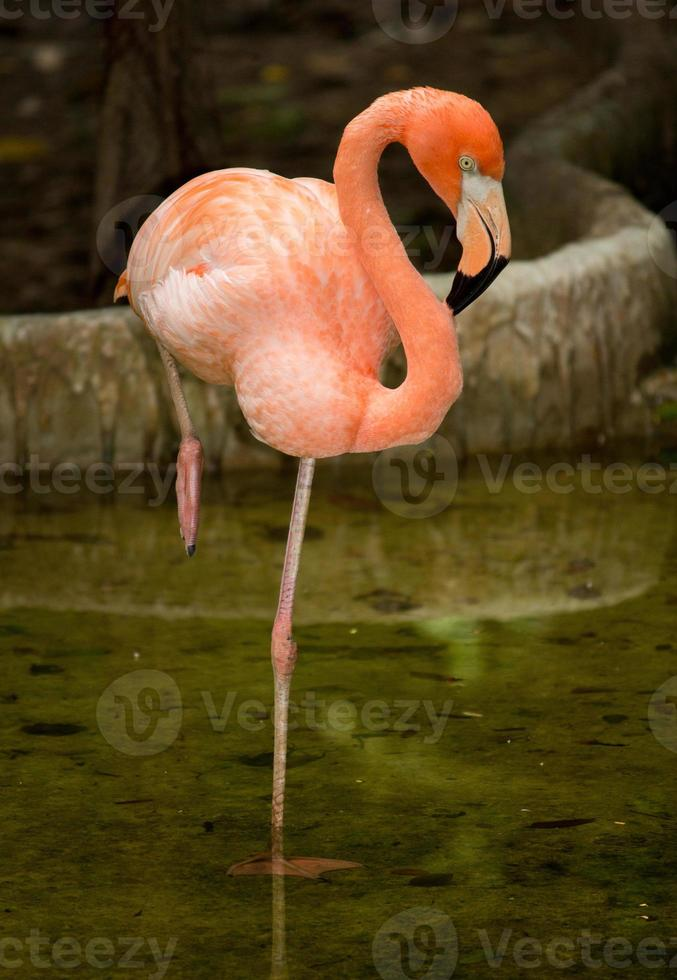 Bird flamingo photo