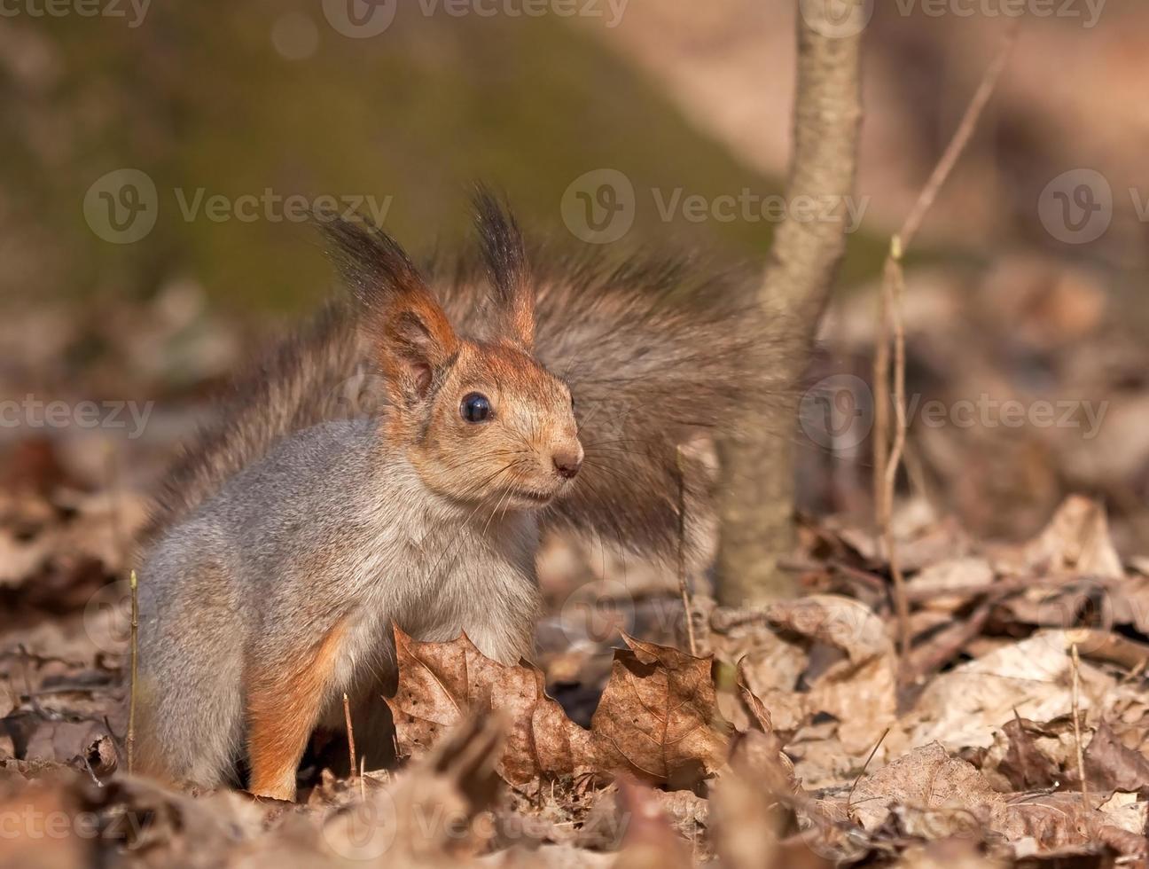 ardilla en el bosque de la primavera foto