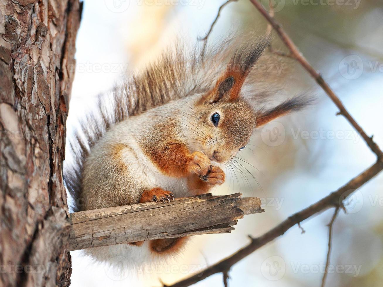 Ardilla en árbol con nuez foto