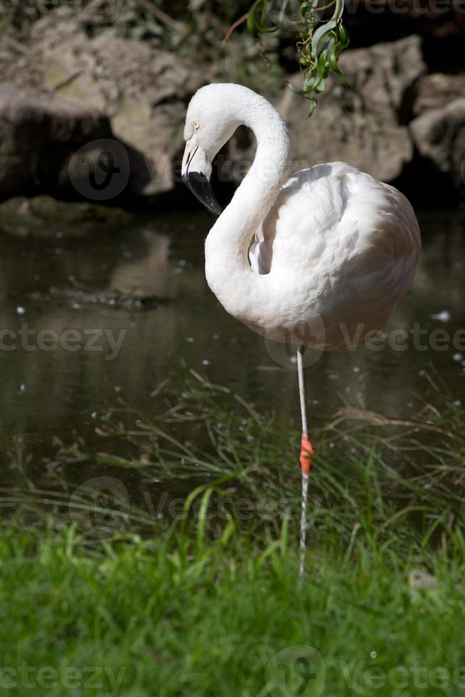 Chilean flamingo in a small pond which stand photo