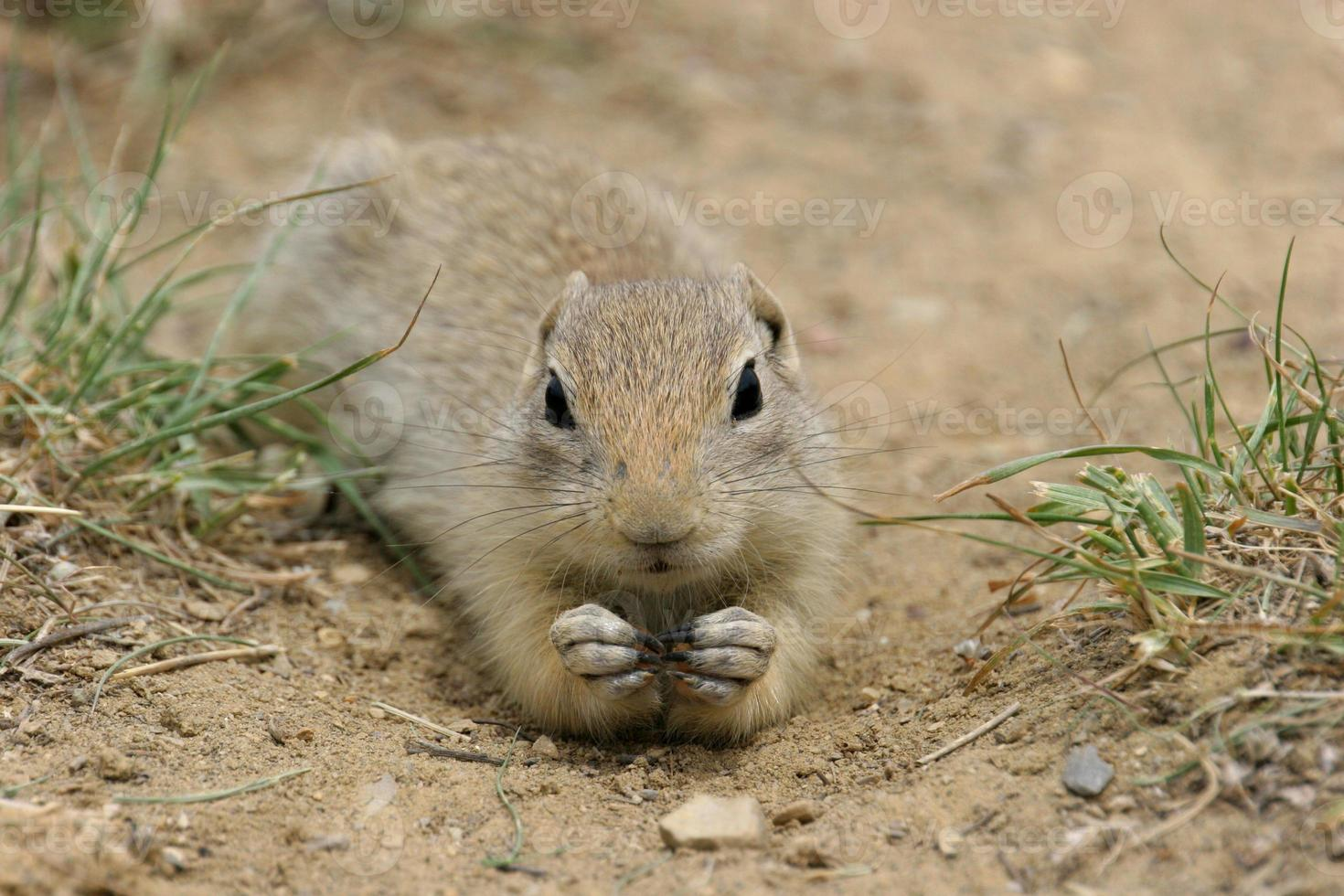 Prairie Dog - closeup photo