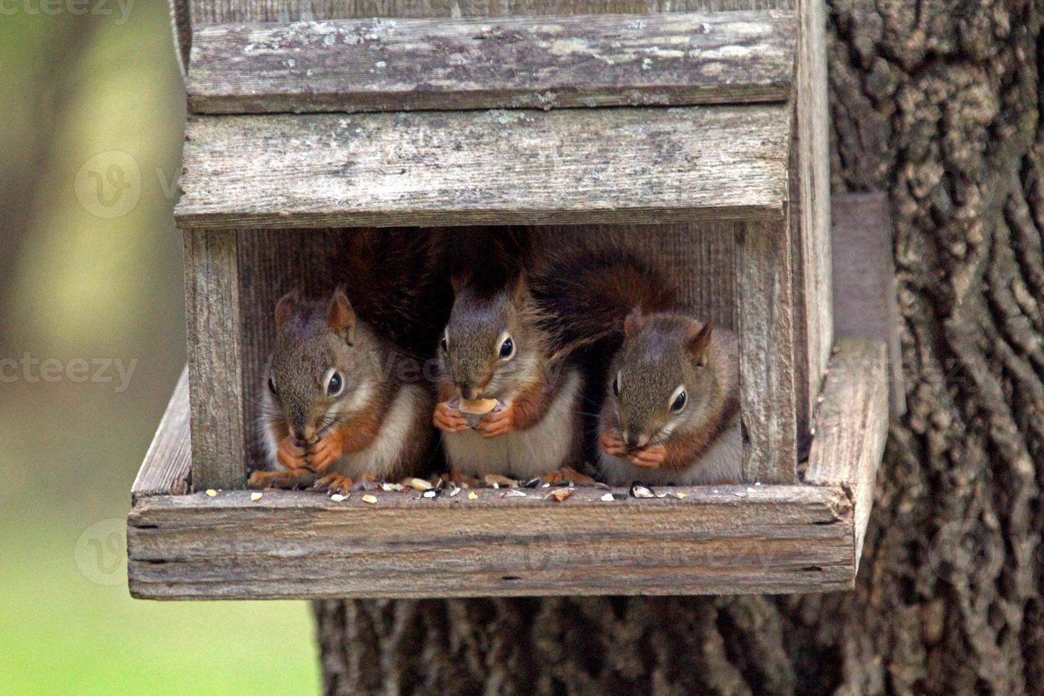 Three juvenile red squirrels on perch photo