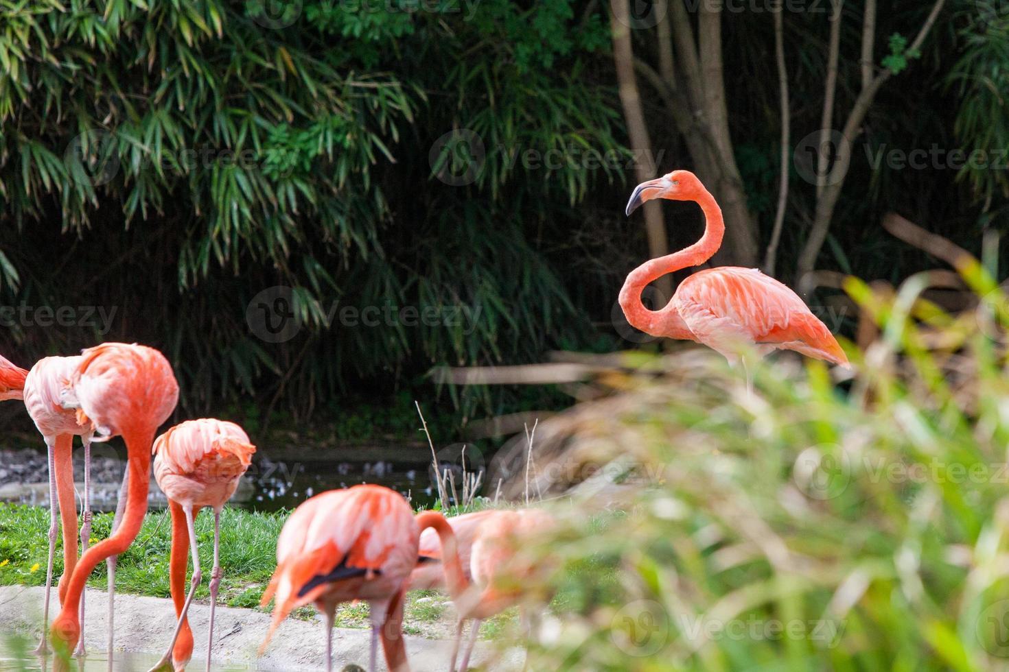 bandada de flamencos rosados foto