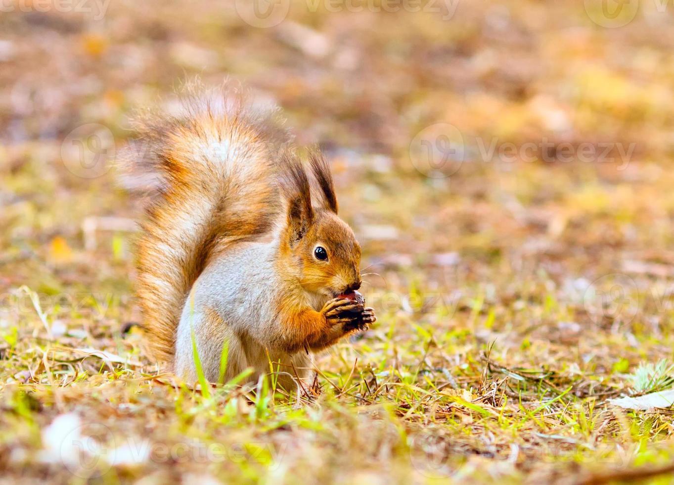 rode eekhoorn houdt poten moer foto
